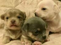 Chihuahua pups *Girl now sold*