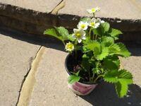 STRAWBERRY PLANTS- already flowering - very healthy.
