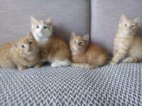 Kittens ginger