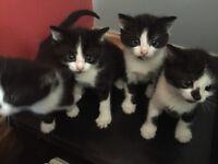 1 black and white male kitten