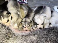 Siberian husky puppies. 4 males. 3 females