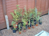 19 small potted Conifer Leylandii type trees