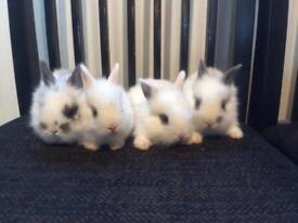 Baby lionheads rabbits