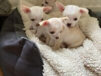 2 Xx Tiny Chihuahua girls Ready now