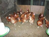 Chickens for sale, egg laying - only a few left