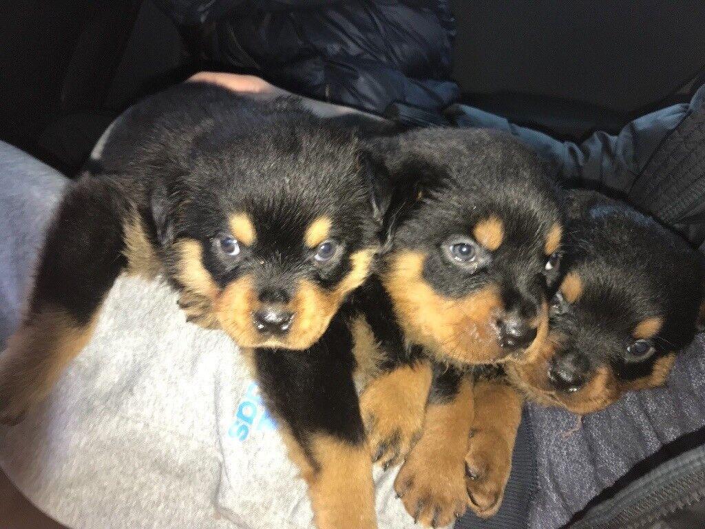 German rottweiler puppies for sale | in Scotland UK