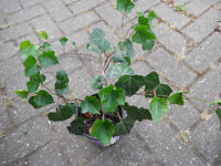 Plants for sale-Larger English ivy plants in 14 cm plastic pot