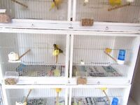 canaris for sale