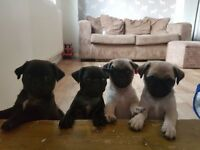 Stunning pug puppies ready in 1 week!