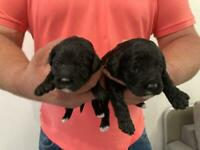One Girl Left!! Sproodle puppies, F1
