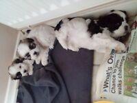 Bichon frise x shihtzu puppies (sichons)
