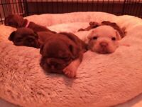 Top quality kc French bulldog puppys
