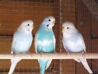 Budgies 9 months old