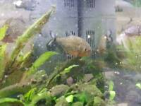 3 Red Belly pirnaha