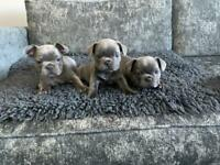 French bulldogs ( All sold)