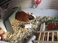 2 guinea pigs and complete set up.
