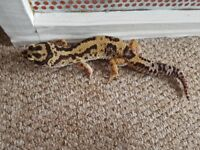 Mqle leopard gecko bandit