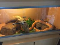 5 year old corn snake with setup