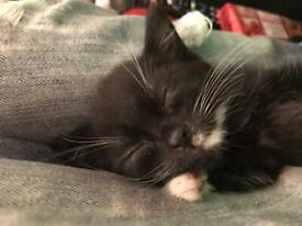 8 week old black and white male kitten