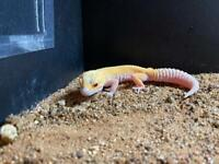 9 month old female leopard gecko