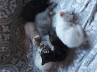 Part Maine Coon kittens ALL RESERVED