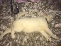 Siberian husky puppy puppies for sale