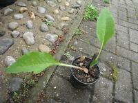 Plant for sale-A Comfrey plant