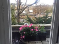 Beautiful set of 5 matching long pots with flowers+2Rose trees in pots