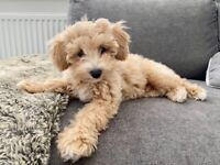 Stunning champagne Poochon puppy for sale