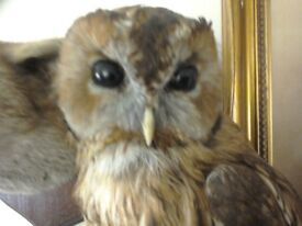 Pre 47 taxidermy tawny owl mounted on a nice mount