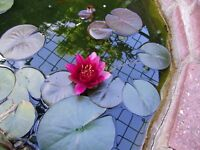 Growing red water lilly tubers for sale