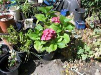 6 Garden Plants inc Pink Hydrangea, Fig Tree, Elephants Ears, Hebe, Fushcia Etc £20 Lot Weymouth