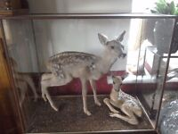 Pair cased taxidermy Bambi deers
