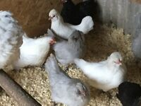 Araucana Bantams for sale