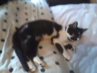 8 MONTH OLD FEMALE KITTEN SPAYED AND INNOCULATED