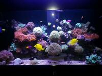 Pink Bubble Tip Anemone Aquarium Marine Reef Coral from Mature Fish Tank