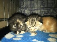 4 beautiful kittens ready to go first week of December