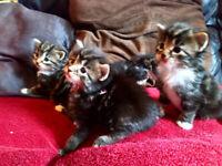 gorgeous fluffy kittens ready soon