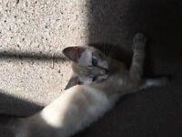 Stunning Female kitten