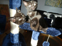 2 bengal kittens (melanistic) ready 28th april