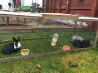 3 rabbits free to a good home