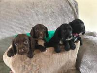 Cocker spaniel puppy's ready to leave now 🐶