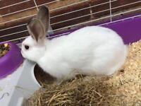 £15 rabbit