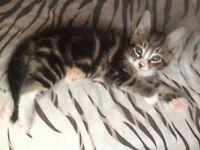 Beautiful little male kitten needing a home!!