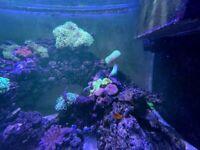 Pair of Tomato Clownfish with Anemone