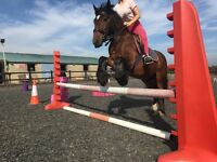 14hh Traditional Cob Gelding for Sale