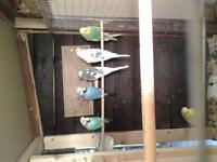 pairs of exhibition budgies