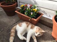 Missing Cat / Kitten white ginger Breaston DE723EH