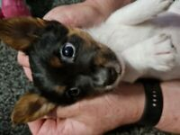 Female jack Russell puppy