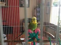 Two budgies with large cage